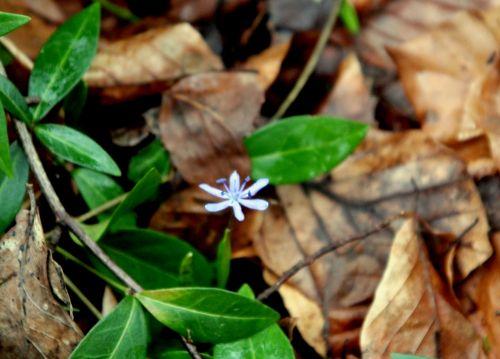 scilla bifolia 25 fev 2012 004.jpg