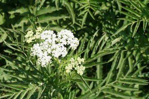 ebulus corymbes et feuilles 27 juin 2010 023.jpg