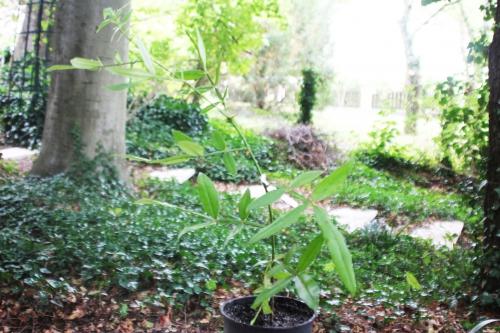 1 zanthoxylum subtrifoliatum 20 août 2015 002.jpg