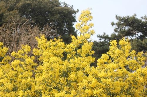 acacia decurrens paris 18 mars 2015 144 (3).jpg