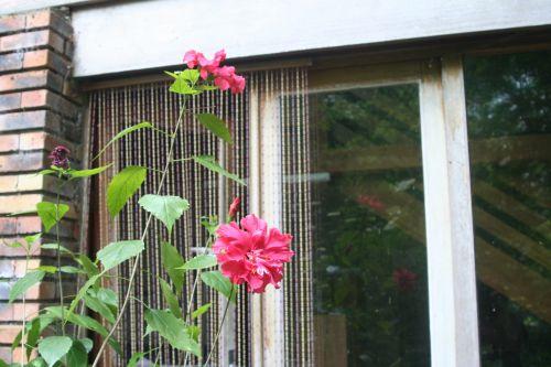 hibiscus 6 juin 002.jpg