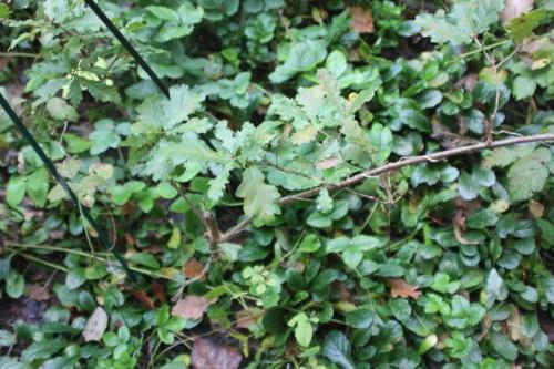 quercus pubescens romi 29 oct 2014 055 (4).jpg