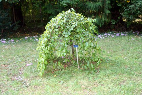 4 parrotia persica arbofolia 9 oct  2010 p 107.jpg