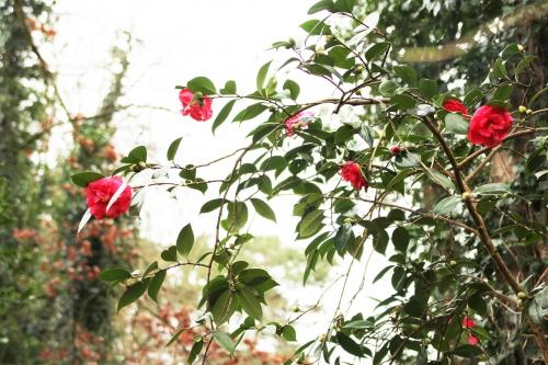 1 camellia adolphe veneux 29 janv 2015 014.jpg