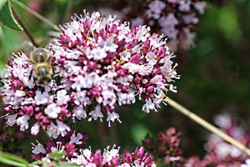 9 abeille 16 juil 2012 p 041.jpg