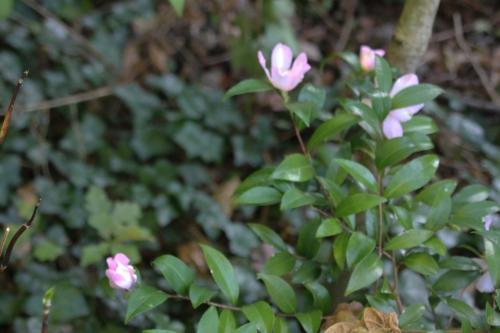 5 camellia sasanqua veneux 1 nov 2014 017 (1).jpg