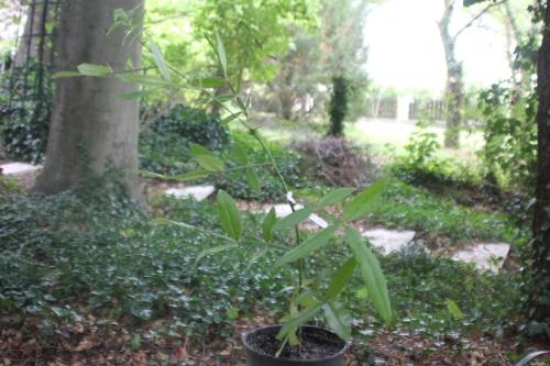 3 zanthoxyllum subtrifoliatum 20 août 2015 002.jpg
