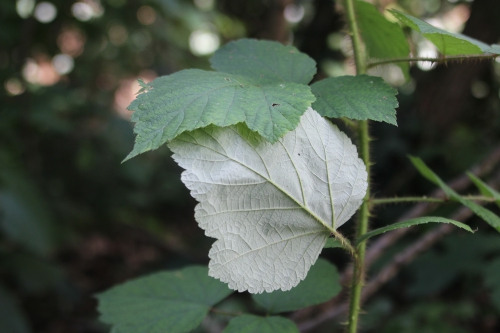 13 rubus phoenico veneux 2 août 2014 004 (6).jpg