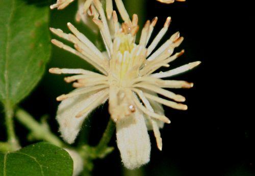 clematis vit fleur romi 10 juil 2010 p 034.jpg
