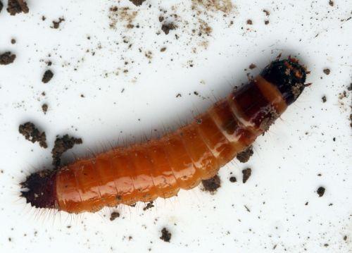 tipule larve romi 8 nov 005.jpg