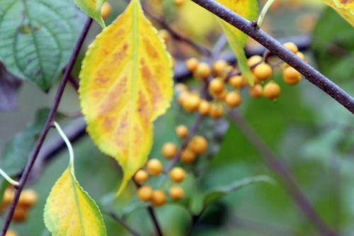 celastrus angultus 6 barres 13 oct 2012 157 (11).jpg