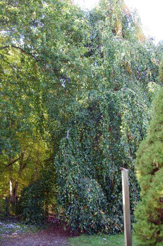 fagus pend barres 11 oct 098.jpg
