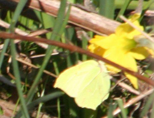 citron narcisse 19 mars 001.jpg
