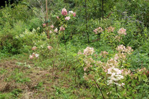 hydrangeas romi 13 août 001.jpg
