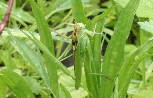 1 mâle sauterelle près 22 juin 045.jpg