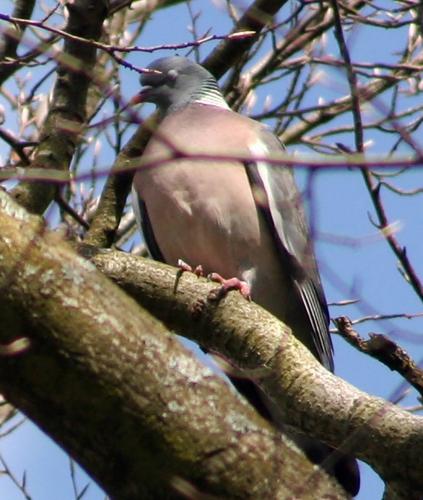 pigeon de près 29 mars 1004.jpg
