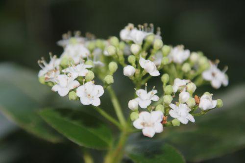 viburnum tinus 3 oct 2014 003.jpg