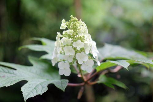 hydrangea quercifolia veneux 24 juin 2012 016.jpg
