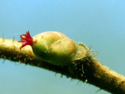 corylus fleur 007.jpg