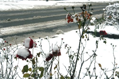 rose neige 20 déc 2010 044.jpg