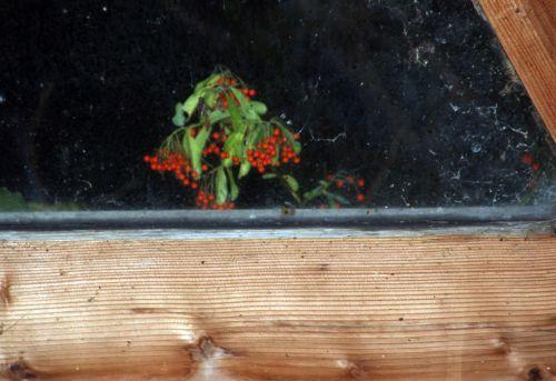 5 pyracantha veneux 14 nov 2013 014.jpg