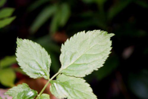 lanceolata veneux 10 juil 2010 018.jpg