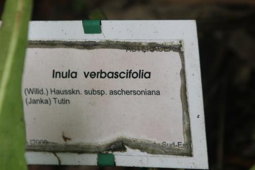 inula verbascifolia marnay 19 juil 2015 133 (4).jpg