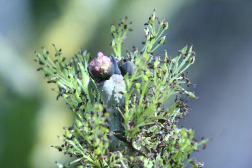frêne inflorescence romi 30 mars 019.jpg