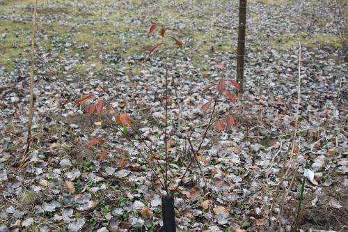 5 pseudocydonia romi 1 mars 2012 024.jpg