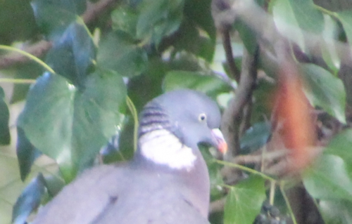 8 pigeon ramier cacahuète veneux 15 janv 2016 021.jpg