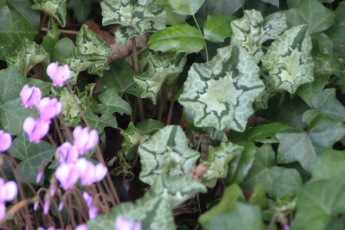19 cyclamen hederifolium veneux 15 oct 2016 023.jpg
