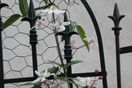 11 apple blossom veneux 5 mars 2016 003.jpg