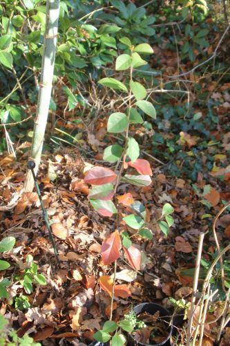 8 pseudocydonia veneux 2 déc 2012 031.jpg