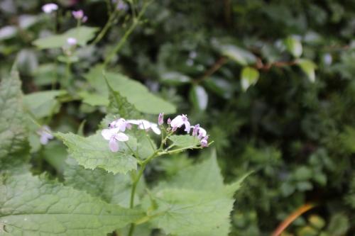 4 lunaria rediviva veneux 7 juin 2016 004.jpg