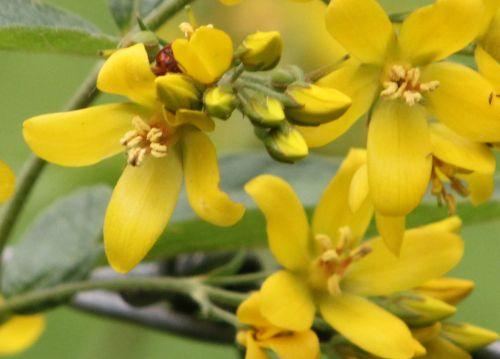 b lysimachia vulgaris fl romilly 16 juil 2012 244.jpg