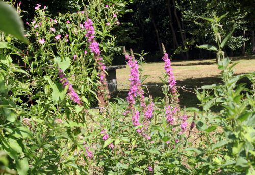 4 lythrum salicaria romilly 29 juil 2012 062.jpg