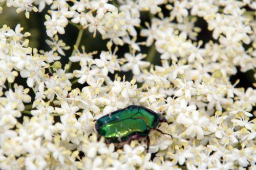 viridis cétoines romi 23 mai 067.jpg