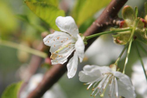 5 cerisier romi 29 avril 2013 045 (4).jpg