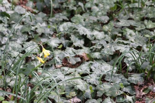 cyclamen hederifolium veneux 5 avril 2015 022.jpg