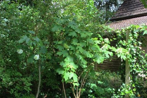 5 hydrangea quercifolia veneux 30 juin 2016 008.jpg