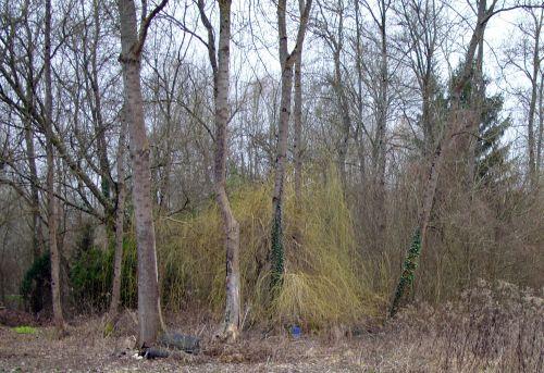 1 salix tristis romilly 25 fev 2008 001.jpg