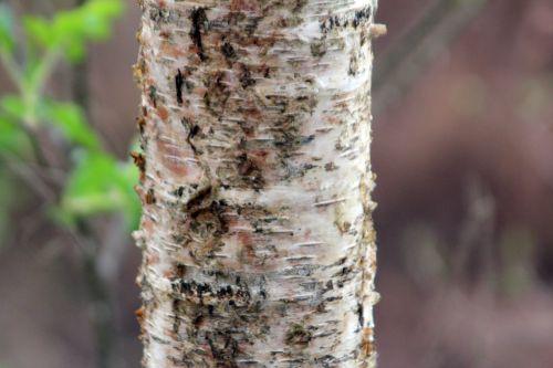 betula apoiensis gb 9 avril 2012 181 (1).jpg