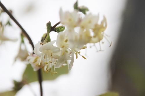 3 lonicera fragrantissima veneux 27 fev 2017 006.jpg