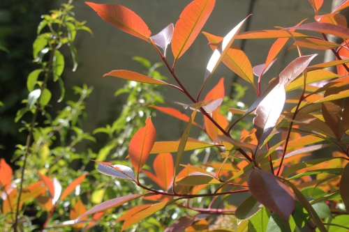 6 photinia veneux 24 avril 2017 002.jpg
