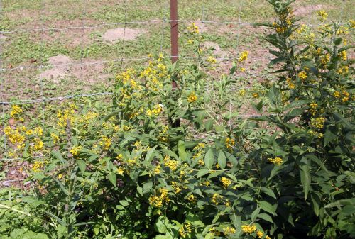 2 lysimachia vulgaris romi 11 juil 2011 060.jpg