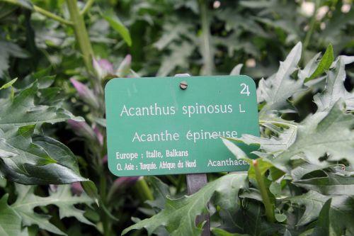 11 acanthus spinosus paris 23 juin 2012 221 (7).jpg
