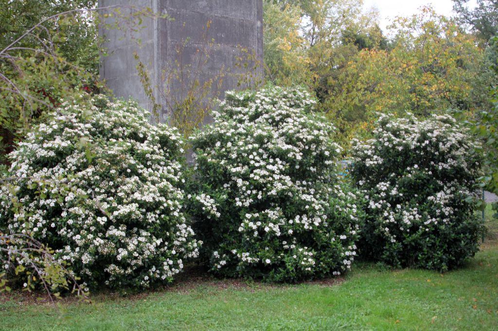 Viburnum tinus sureaux for Siepi perenni fiorite