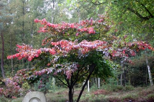 1 parrotia persica gb 6 oct 2012 173.jpg