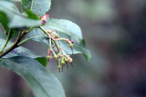 b 0 arbutus x andrachnoides 29 mars 2013 002.jpg