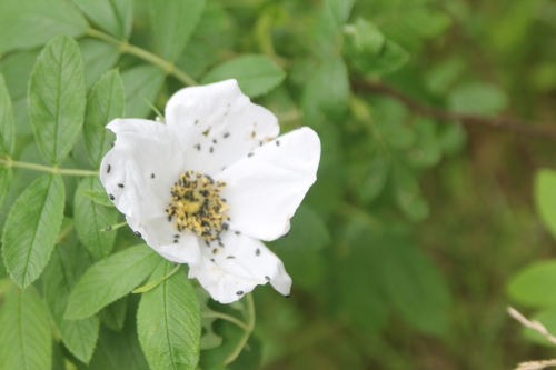 31 rosa helenae gb 14 juin 2015 123 (2).jpg